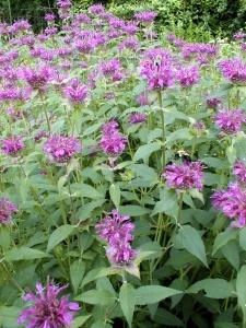 Wild bergamot is a native plant in Northwest Wisconsin.