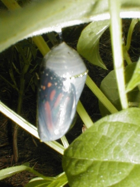 Monarch pupa