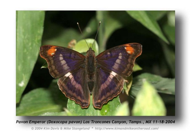 Pavon Emperor (Doxocopa pavon)  Butterfly of Colombia, South America