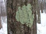 Lichen on oak tree