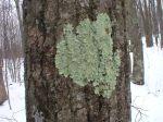 Lichen on oak tree