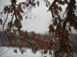 A halo of oak leaves