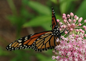 Monarch butterfly on milkweed. Photo by Cindy Dyer of Dyer Design