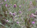 Knapweed seedhead