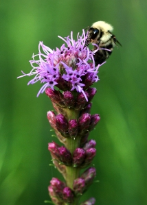 Bee on liatris