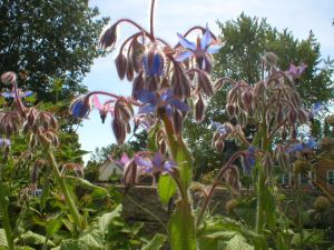 Borage a bee plant