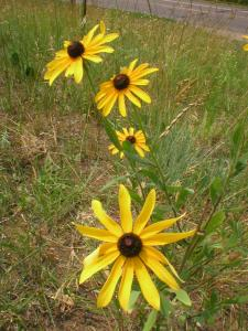 native black-eyed Susan