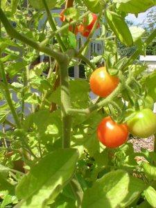 Cherry tomago