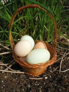 Free range farm fresh eggs