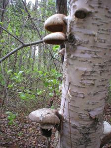Birch polypore mushrooms