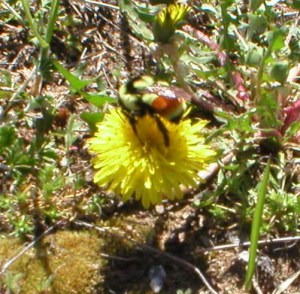 Bombus ternarius with yellow band after rusty hair bands