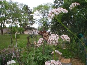 Monarch on valerian