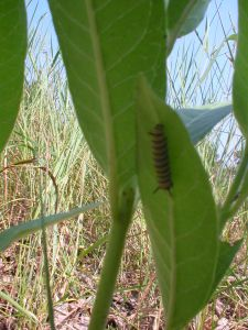 1st monarch caterpillar in 2010