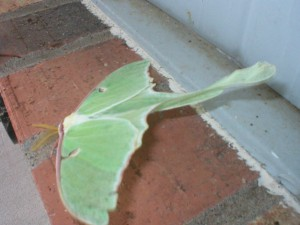 Luna moth in high wind