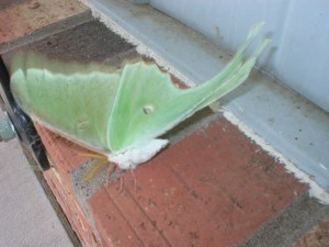 Luna moth fuzzy white tummy