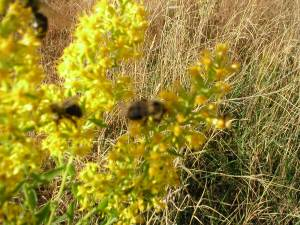 Native bumblebees