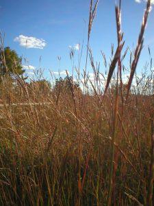 A prairie of Tall Bluestem Native Grass