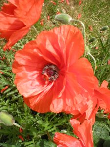 Oriental poppy growing in Shell Lake