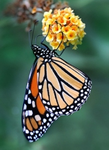 monarchonyellow