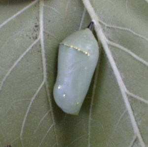 I thought this pupa was a jewel when I first saw it in the garden