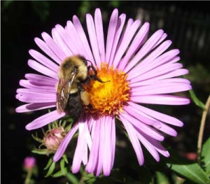 Bumblebee gathering pollen on late blooming aster
