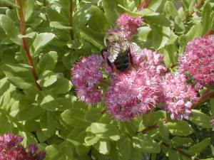 Bumblebee on autumn sedum