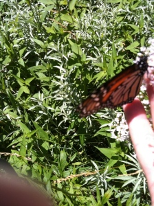 Bonding with monarchs day after storm.