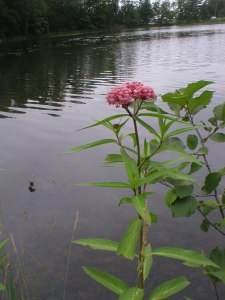Purple milkweed and Pond, Minong, WI