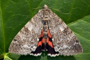 Red underwing moth copyright Richard Lord