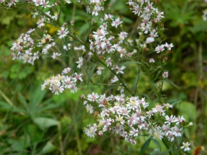 Calico aster with pink centers.