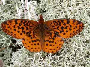 Meadow Fritillary giant on raindeer moss. Not sure who took the photo.