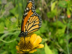 After the storm, monarch on faded zinnia copyright Mary Ellen Ryall