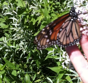 Monarch tasting my fingers and walks across to Valerian flower for nectar