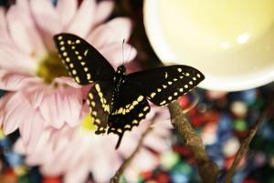 Black swallowtail butterfly copyright Erin Pryor Pavlica