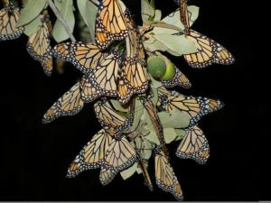 Monarch cluster at Mexico habitat, Estela Romero, reporter, Journey North