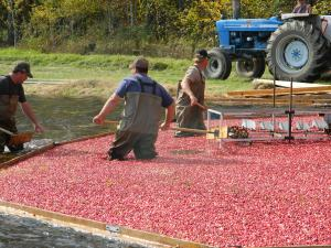 Men working in the marsh with berries.