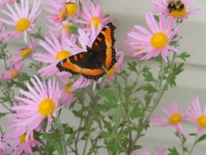 Milbert's tortoiseshell butterfly