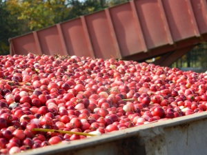 Cranberries going to a warehouse.