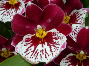 Princess Diana Red Baron Orchid