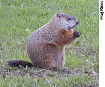 woodchuck Google photo