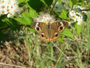 Common buckeye copyright Mary Ellen Ryall