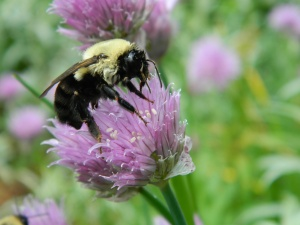 Wet bumblebee after a storm copyright Mary Ellen Ryall