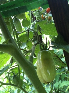 Monarch chrysalis extended near tomato plant. Looks to be same color as fruit.
