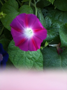 Pink morning glory