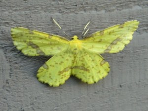 Mystery moth copyright Mary Ellen Ryall