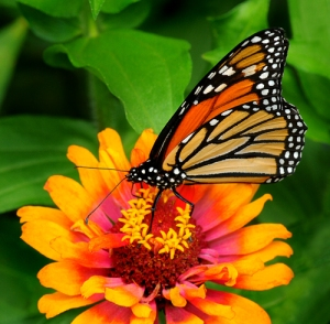 Mary Ellen's monarch copyright Cindy Dyer