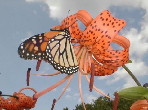 monarchanna