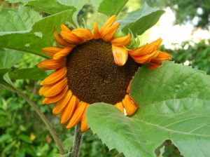 sunflowerpollinators