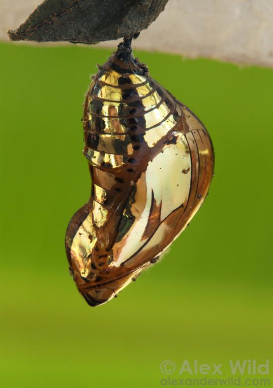 Lepidoptera Tithorea butterfly chrysalis copyright Alex Wild