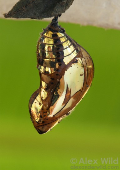 Lepidoptera Tithorea butterfly chrysalis copyright Alex Wild